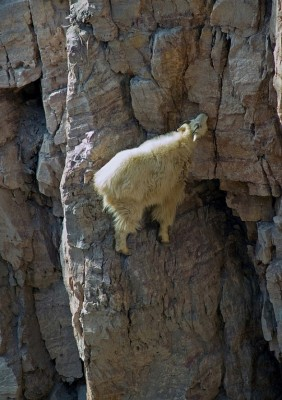 Velcro Goat